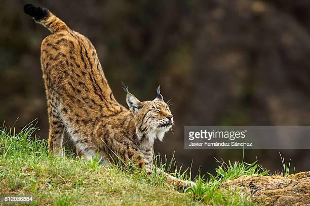 A eurasian lynx (Lynx lynx) stretching after sleeping.