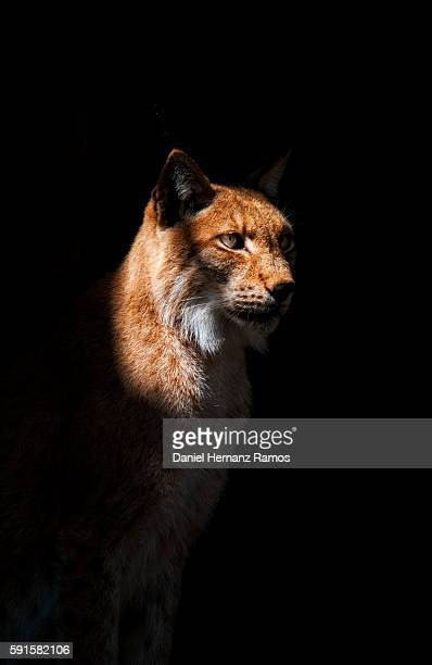 Eurasian lynx with black background. Lynx lynx