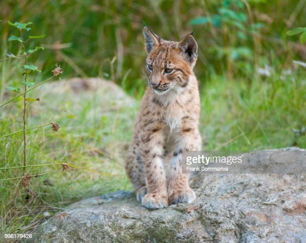 Eurasian lynx (Lynx lynx), young sitting on a rock, captive, animal enclosure, Bavarian Forest National Park, Bavaria, Germany