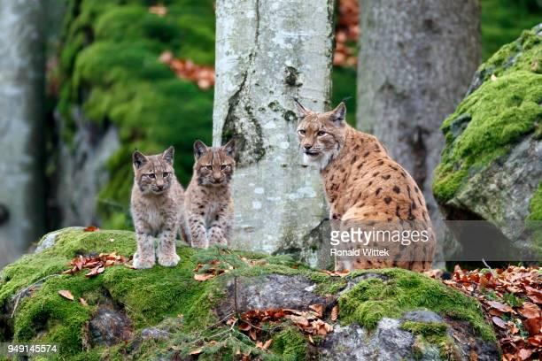 Eurasian lynxes (Lynx lynx), dam with kittens, captive, Germany