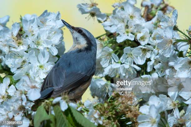 Eurasian nuthatch in spring