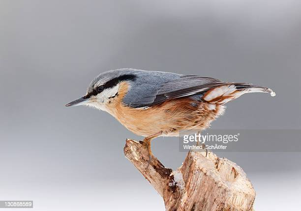 eurasian nuthatch (sitta europaea) - vista lateral stock pictures, royalty-free photos & images