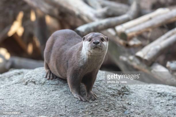 eurasian otter - lontra imagens e fotografias de stock