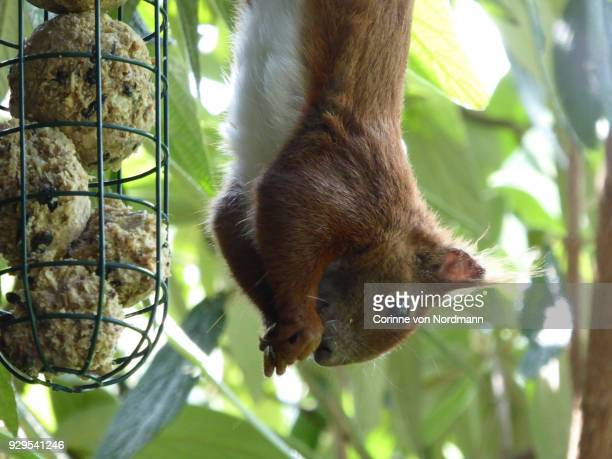 Eurasian Red Squirrel at Bird Feeder - Sciurus vulgaris