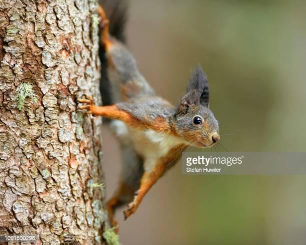 eurasian red squirrel (sciurus vulgaris), climbing a tree trunk, grisons, switzerland - tree squirrel stock photos and pictures