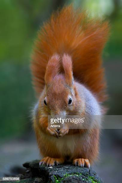 Eurasian red squirrel eating a hazelnut, Germany.