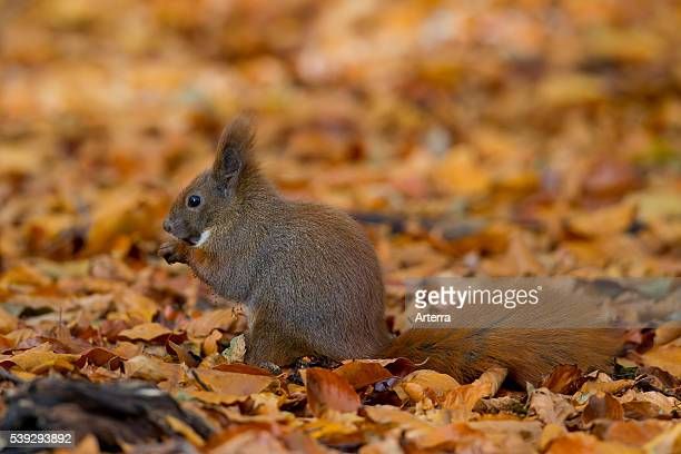 Eurasian red squirrel eating nut on the ground in autumn forest, Germany.