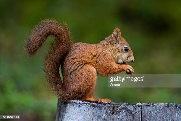 Eurasian red squirrel eating nuts in forest, Dalarna, Sweden.
