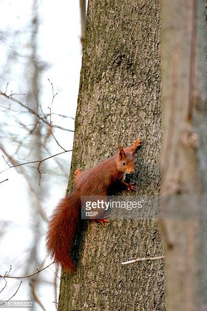 Eurasian Red Squirrel Eurasian Red Squirrel Picture Taken In Oise Sciurus Vulgaris Eurasian Red Squirrel Arboreal Squirrel Squirrel Sciurid Rodent...