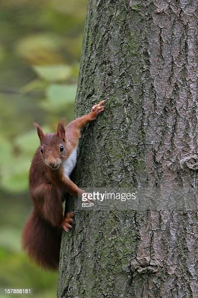 Eurasian Red Squirrel Eurasian Red Squirrel Picture Taken In Picardy FranceSciurus Vulgaris Eurasian Red Squirrel Arboreal Squirrel Squirrel Sciurid...