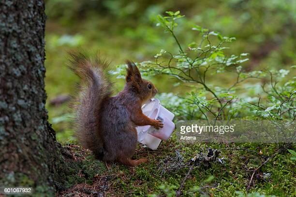 Eurasian red squirrel feeding on discarded plastic yoghurt cup.