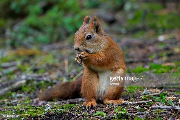 Eurasian red squirrel female eating nuts in forest, Dalarna, Sweden.