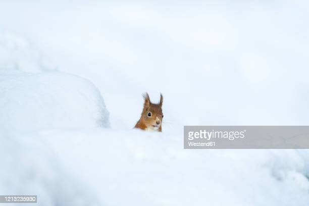eurasian red squirrel in snow - animal stock pictures, royalty-free photos & images