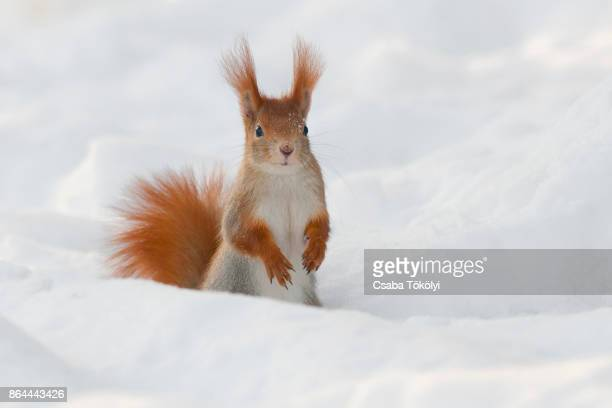 eurasian red squirrel (sciurus vulgaris) in snow - リス ストックフォトと画像