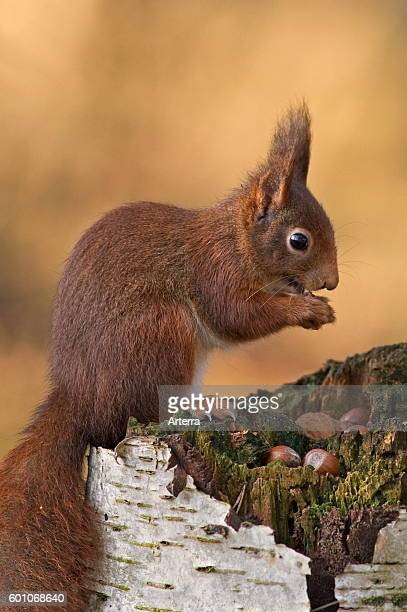 Eurasian red squirrel in winter coat with big ear tufts on tree stump eating nuts in forest.