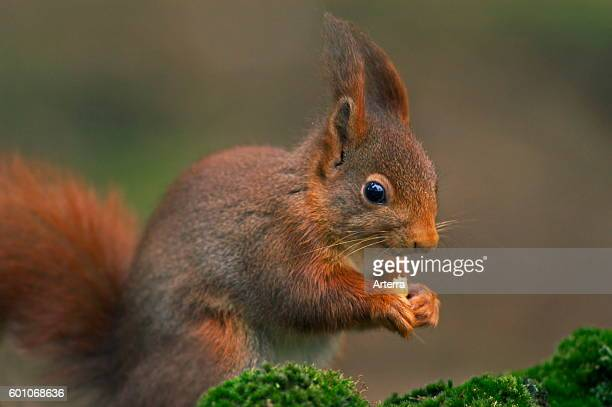 Eurasian red squirrel in winter coat with big ear tufts.