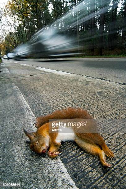 Eurasian red squirrel killed by car lying dead on road verge with cars driving by.