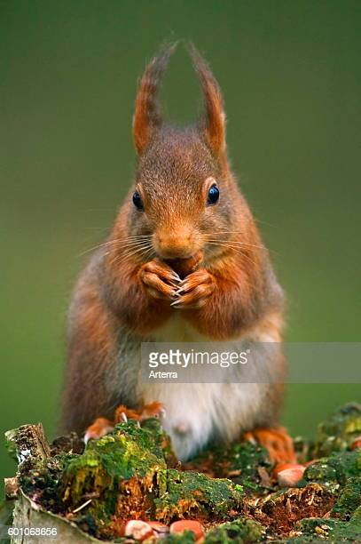 Eurasian red squirrel male in winter coat with big ear tufts on tree stump eating nuts in forest.