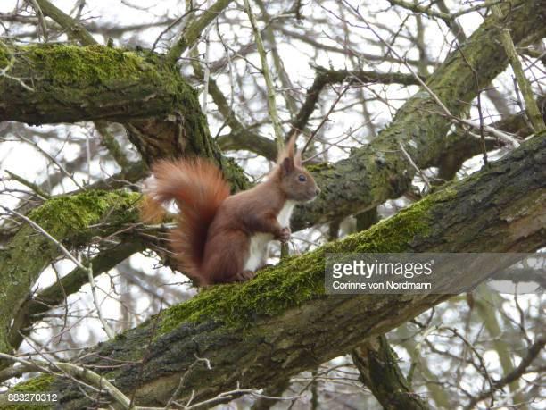 Eurasian Red Squirrel on Moss-Covered Branch - Sciurus vulgaris