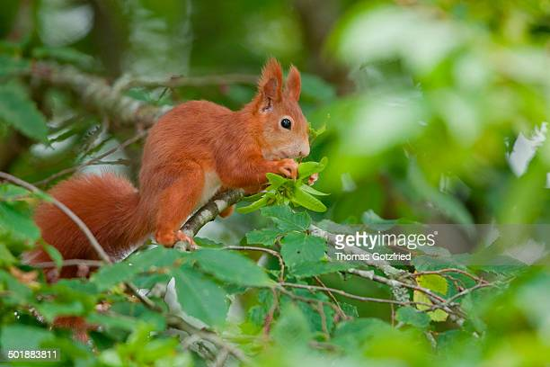 eurasian red squirrel -sciurus vulgaris- sitting on a branch, germany - animal digestive system stock photos and pictures