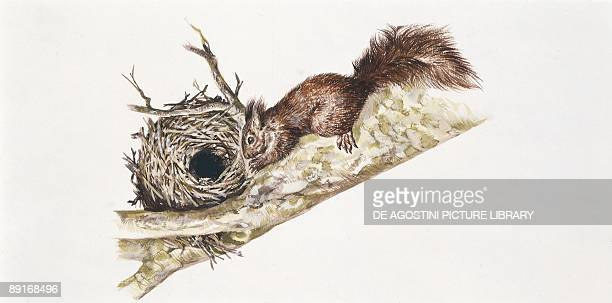 Eurasian red squirrel sitting in tree with nest illustration