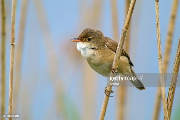 Eurasian reed warbler perched in reedbed in wetland