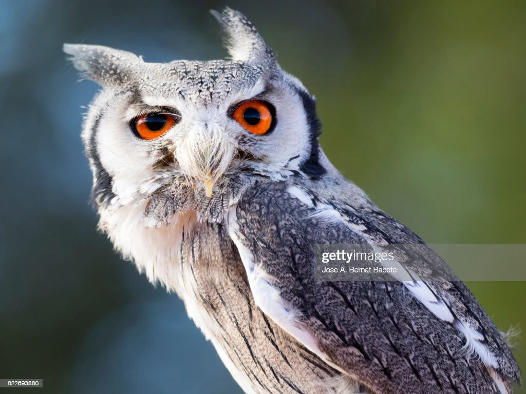 Eurasian Scops Owl perched on an old trunk of tree hunting with the eyes open. Spain, : Stock Photo