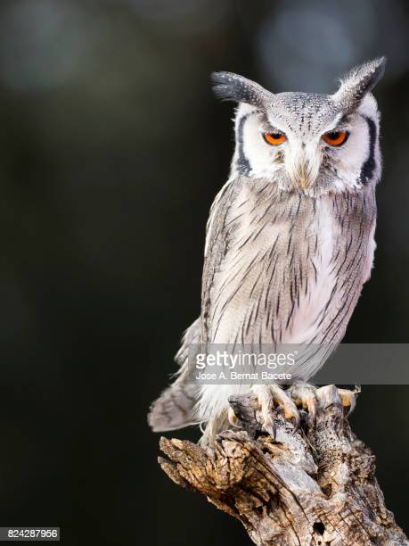 Eurasian Scops Owl perched on an old trunk of tree hunting with the eyes open. Spain,
