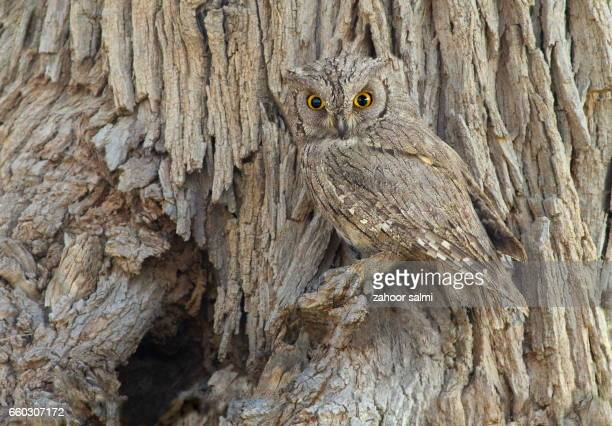 eurasian scops owl - camouflage stock pictures, royalty-free photos & images