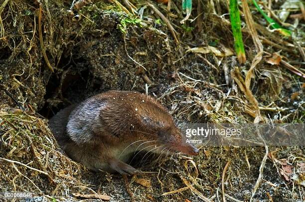 Eurasian shrew / common shrew head emerging from nest while leaving burrow