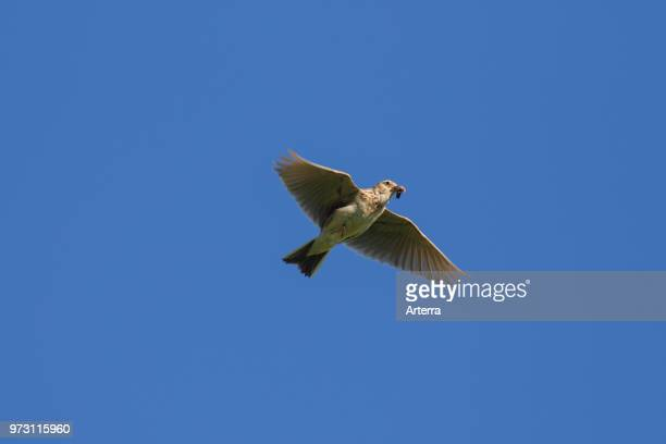Eurasian skylark / common skylark flying with caught grub in beak against blue sky