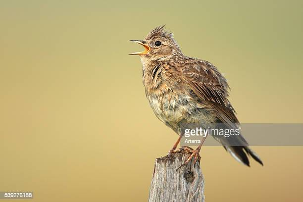 Eurasian Skylark singing from fence pole along field