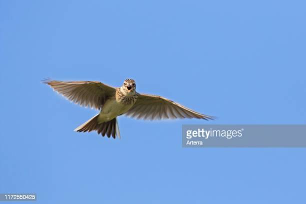 Eurasian skylark singing in flight against blue sky in spring
