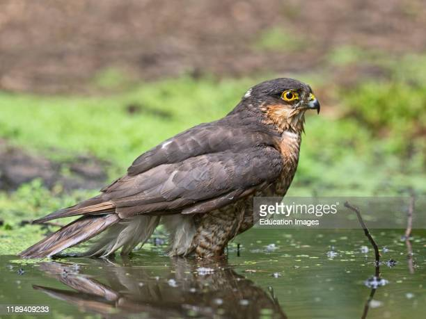 Eurasian Sparrow hawk Accipiter nisus male bathes in a woodland pool near Holt North Norfolk