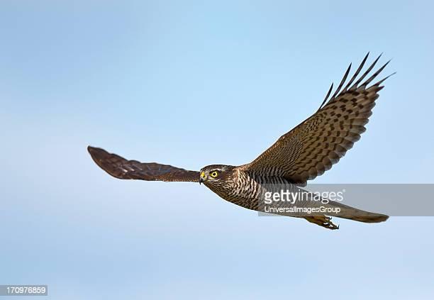 Eurasian Sparrowhawk Accipiter Nisus in flight Mandehoved Stevns Denmark