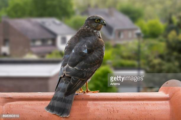 Eurasian sparrowhawk / northern sparrowhawk perched on ridge tile of house's roof and looking for garden birds to prey on