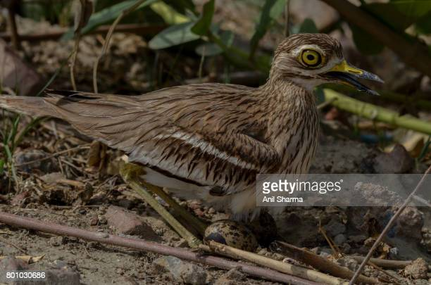 Eurasian Stone Curlew (Burhinus oedicnemus)