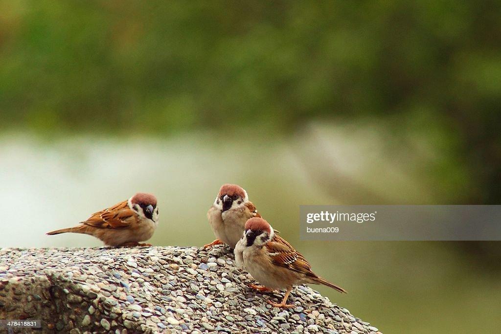 Eurasian Tree Sparrow : Stock Photo