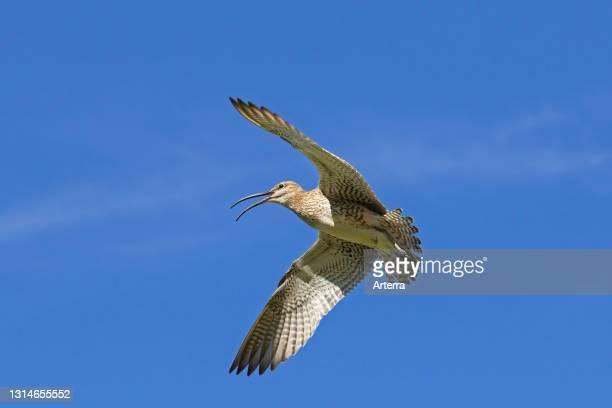 Eurasian whimbrel calling in flight against blue sky.