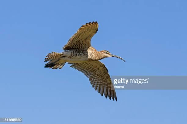 Eurasian whimbrel in flight against blue sky.