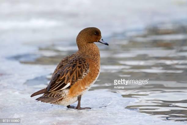 Eurasian wigeon / Eurasian widgeon female at ice hole in frozen pond in winter