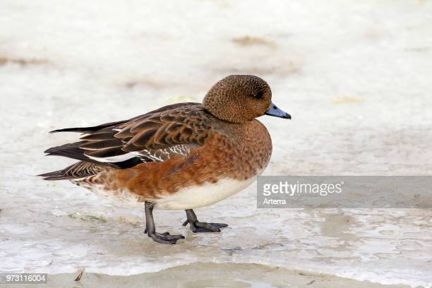 Eurasian wigeon / Eurasian widgeon female on ice of frozen pond in winter
