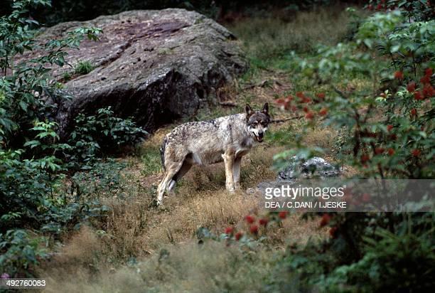 Eurasian Wolf or European Wolf Canidae Bavarian Forest National Park Bavaria
