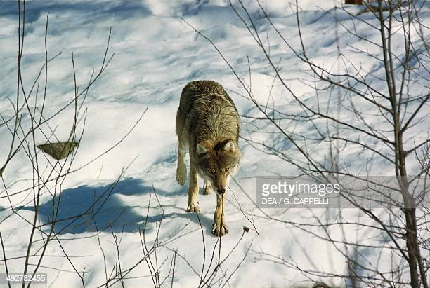 Eurasian Wolf or European Wolf Canidae Bavarian Forest National Park Bavaria Germany