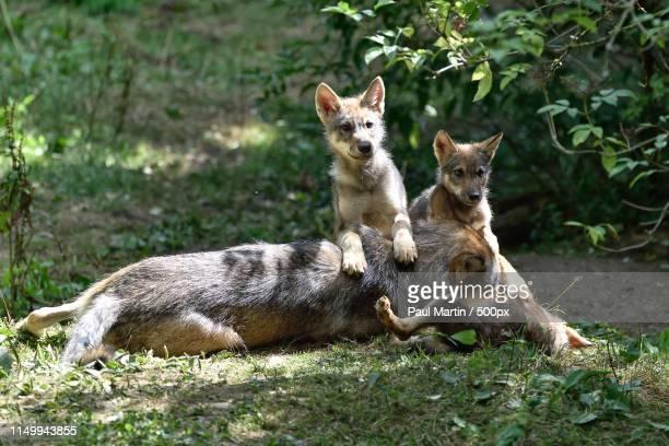 eurasian wolf - eurasia stock pictures, royalty-free photos & images