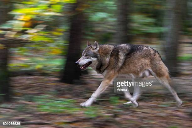 Eurasian wolf running in forest showing motion blur