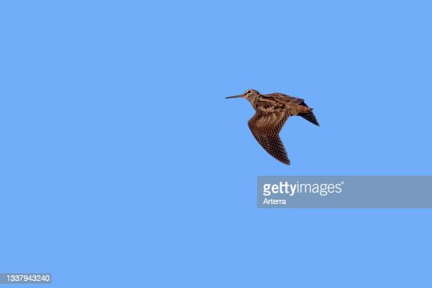 Eurasian woodcock in flight against blue sky.