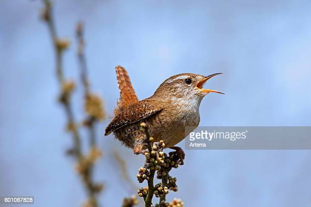 Eurasian wren male calling from bush