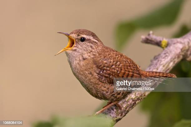 eurasian wren (troglodytes troglodytes) on branch - songbird stock pictures, royalty-free photos & images