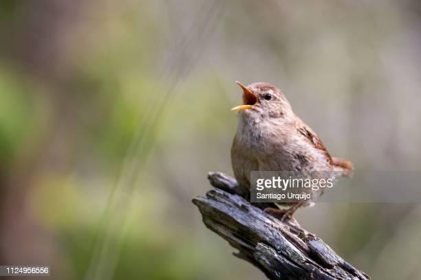 eurasian wren (troglodytes troglodytes) singing - zangvogel stockfoto's en -beelden